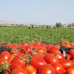 آغاز برداشت گوجه فرنگي از مزارع بخش دهرم فراشبند
