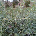 کشت لیجین یا هندوانه کوهی برای اولین بار در شهرستان فراشبند