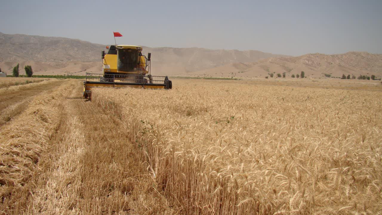 آغاز برداشت خوشه های طلایی گندم از گندم زارهای شهرستان فراشبند+ عکس