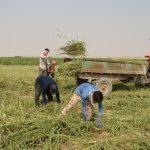 مدیر جهاد کشاورزی شهرستان فراشبند خبر داد: برداشت کنجد درمزارع شهرستان فراشبند