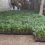 کاشت ۲۵۰ هکتار گوجه فرنگی پاییزه در شهرستان فراشبند