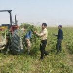برداشت کنجد در مزارع شهرستان فراشبند