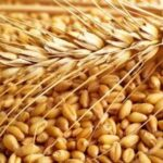 توزیع بذر گواهی شده غلات در فراشبند