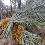 خسارت بیش از ۱۶میلیارد تومانی به بخشهای کشاورزی در اثر بارندگی اخیر در شهرستان فراشبند