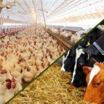 توزیع بیش از ۶ هزار و ۲۳۰ تن خوراکدام ونهاده دامی بین مرغداران و دامداران شهرستان فراشبند